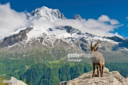 Bouquetin e NevadasComment picos de montanha Alpes