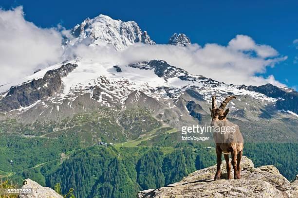 Bouquetin et les sommets enneigés des Alpes