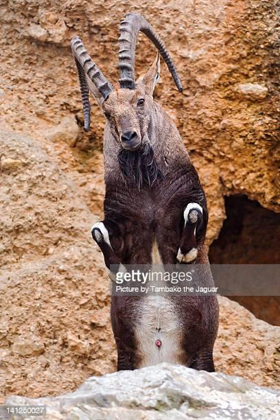 Ibex jumping
