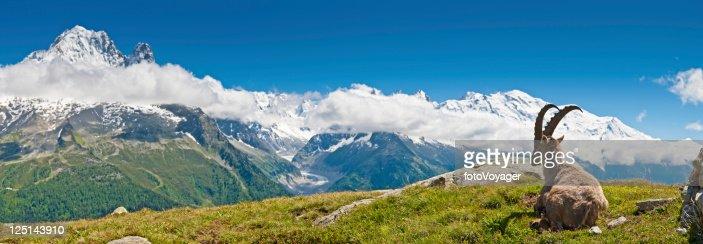 Bouquetin olhar sobre Mont Blanc panorama dos Alpes franceses