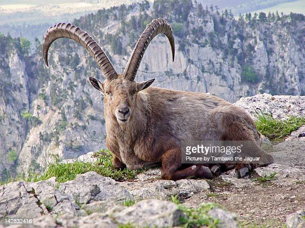 Ibex lying on rock