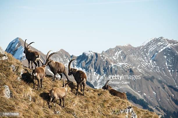 Ibex spotting