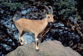 Ibex Standing on a Rock