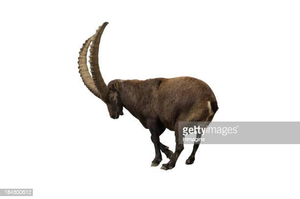 Ibex with clipping path