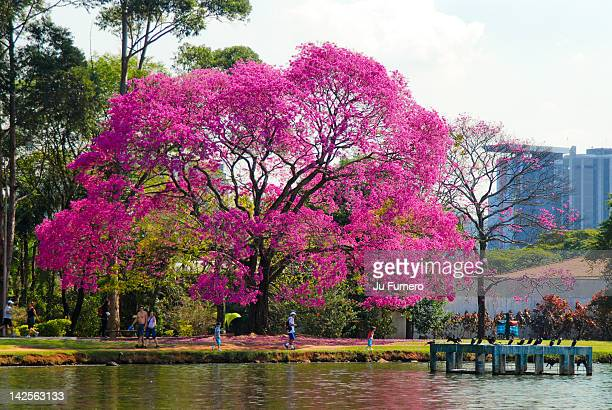 Ibirapuera park is largest urban park