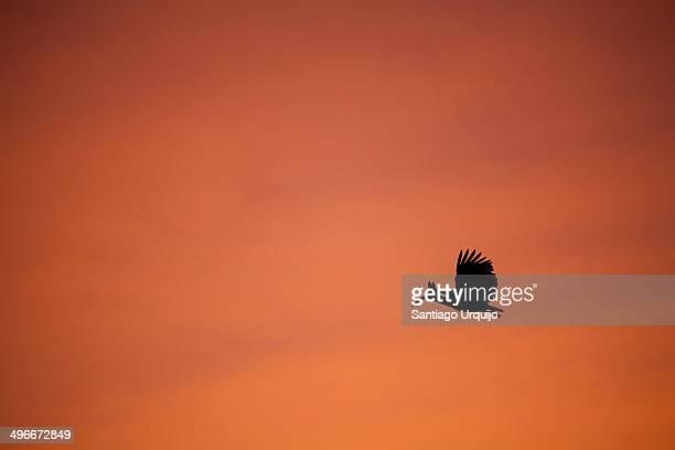 Ibis flying before sunrise on an orange sky