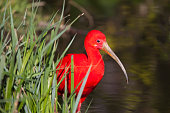 Close-up of a scarlet ibis - selective focus (XXL)