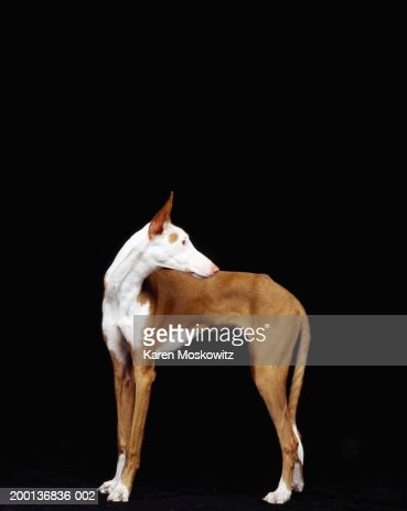 Ibizan hound, side view : Stock Photo