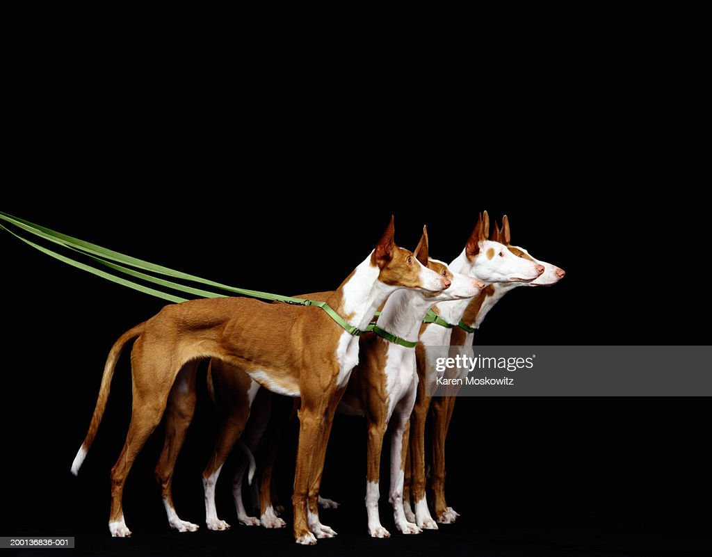 Ibizan hounds on leash, side view : Foto de stock
