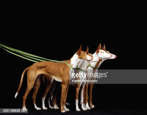 Ibizan hounds on leash, side view : Stock Photo