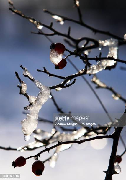 Ice and snow collects on a bush in Denny Scotland as northern Britain today bore the brunt of wintry weather that could bring almost a foot of snow...