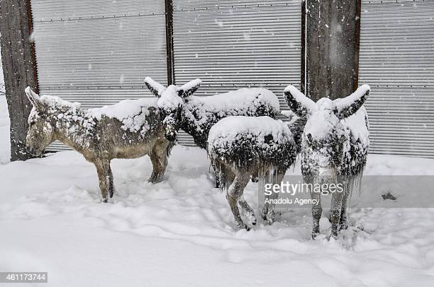 Ice covered stray donkeys stand outside at cold weather in Cikrik Neighborhood of Karacadag region located in Siverek district of Sanliurfa province...