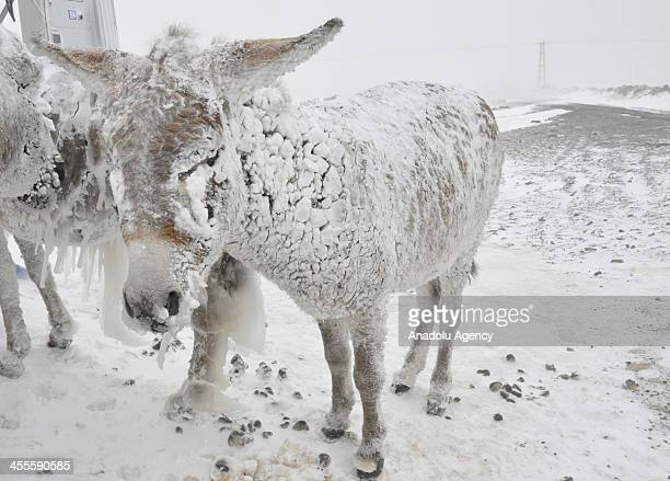 Ice covered stray donkeys stand outside in cold weather in Karlik village of Karacadag region located in Siverek district of Turkey's Sanliurfa...