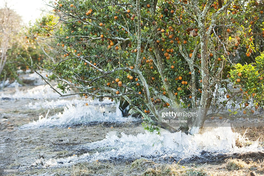 Cold temperatures continue to endanger florida citrus crops getty images - Protecting fruit trees in winter ...