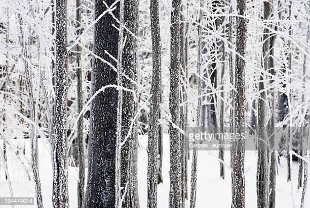 Ice on tree trunks in the woods in winter, Herz, Lower Saxony, Germany, Europe