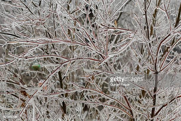 Ice-coated shrub, wienerwald, Sulz im Wienerwald, Lower Austria, Austria