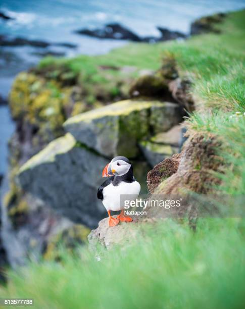 Iceland, Atlantic Puffin standing in grass.