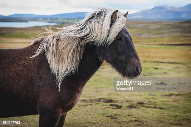 Iceland, Bjarnarhoefn, Icelandic horse