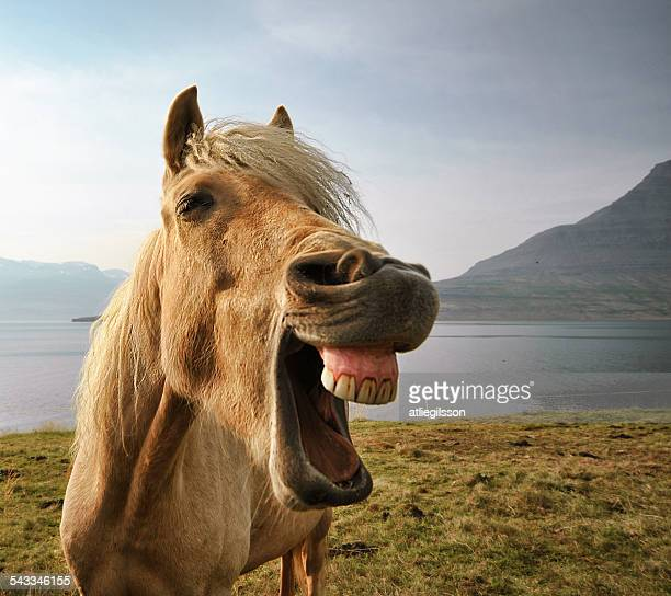 Iceland, eskifjordur, Portrait of Icelandic horse by lake