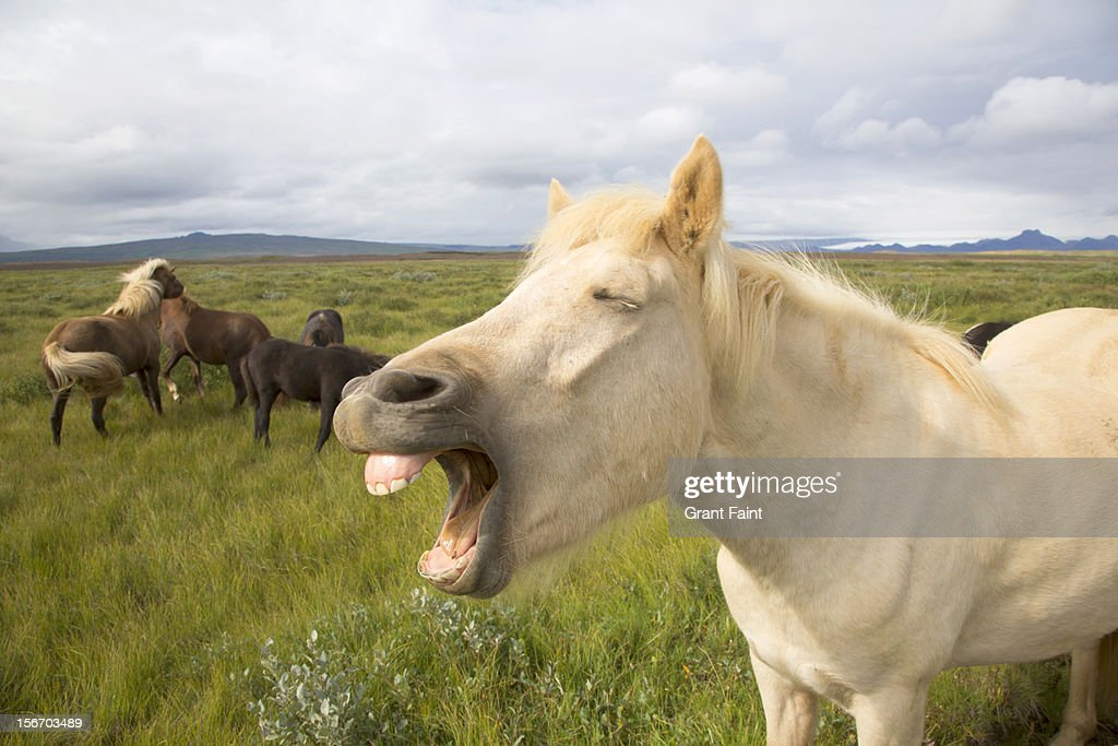 Iceland pony yelling in a field : Stock Photo