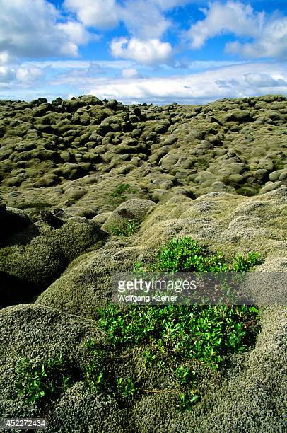 Iceland South Coast Lava Field From 1783 Eruption Covered With Moss Willow Tree