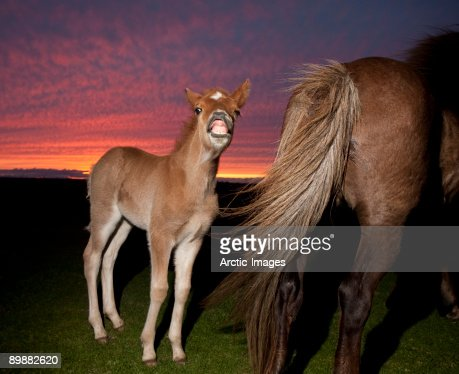 Icelandic foal smiling with mare at sunset : Stock Photo