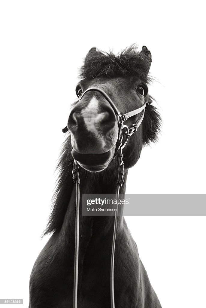 Icelandic horse from below : Stock Photo