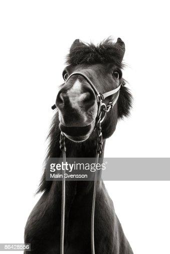 Icelandic horse from below : Foto de stock