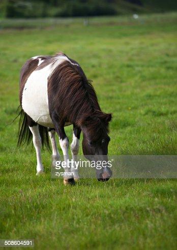 Cavalo islandês : Foto de stock
