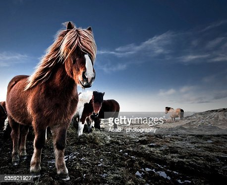 Icelandic horse : Stock Photo