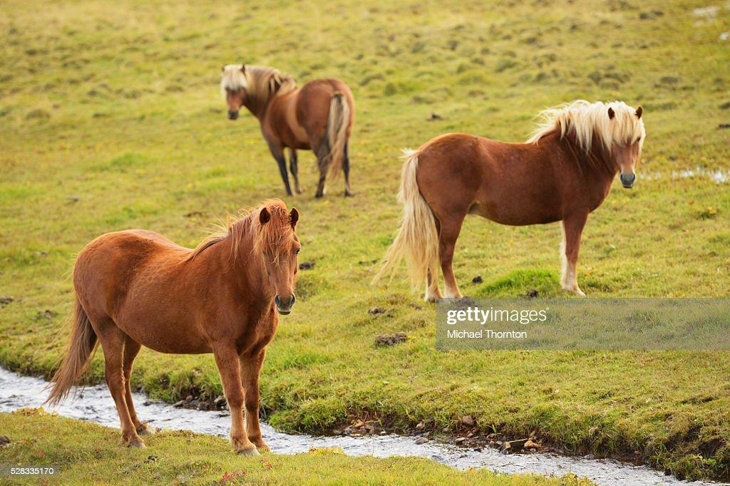 Icelandic Horses Grazing; Vidimyri, Skagafjordur, Iceland