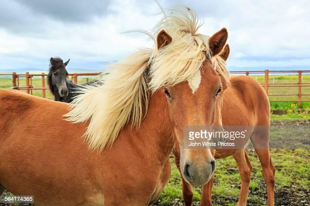 Icelandic horses. Iceland.