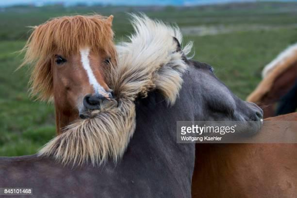 Icelandic horses in a pasture near Borgarnes in western Iceland