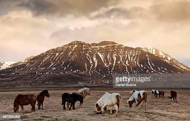 Icelandic horses in dramatic landscape