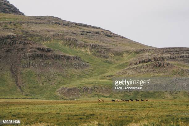 Icelandic horses in mountains in Iceland