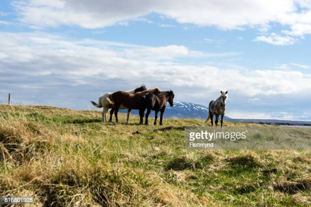 Icelandic Horses in the sun, near Myvatn