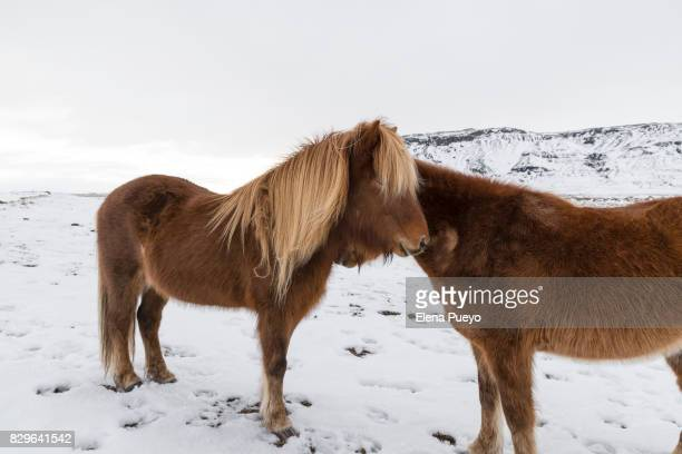 Icelandic horses in typical landscape