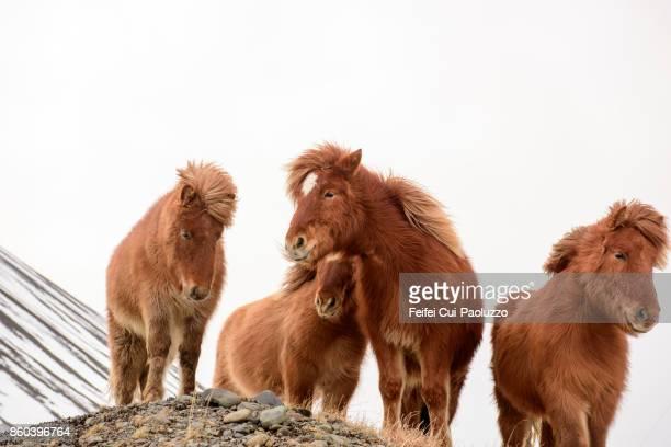 Icelandic horses near Borgarnes at west part of Iceland