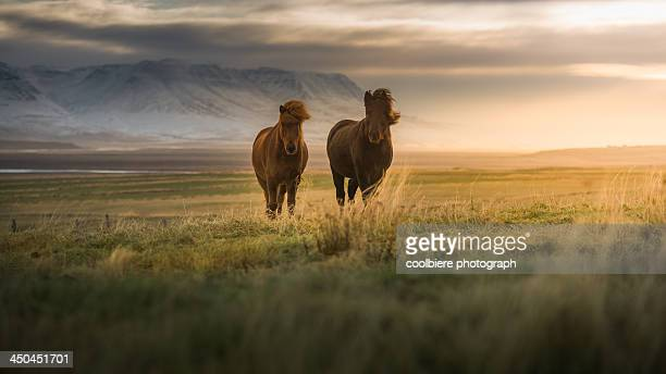 Icelandic horses on the field