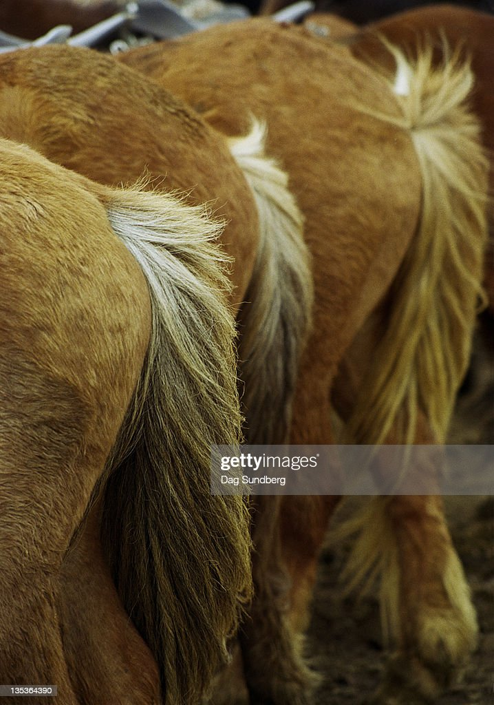 Icelandic horses : Stock Photo