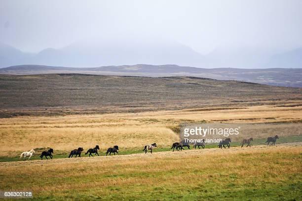 Icelandic horses running in wild landscape in Iceland