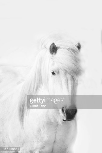 Icelandic pony in white. : Stock Photo