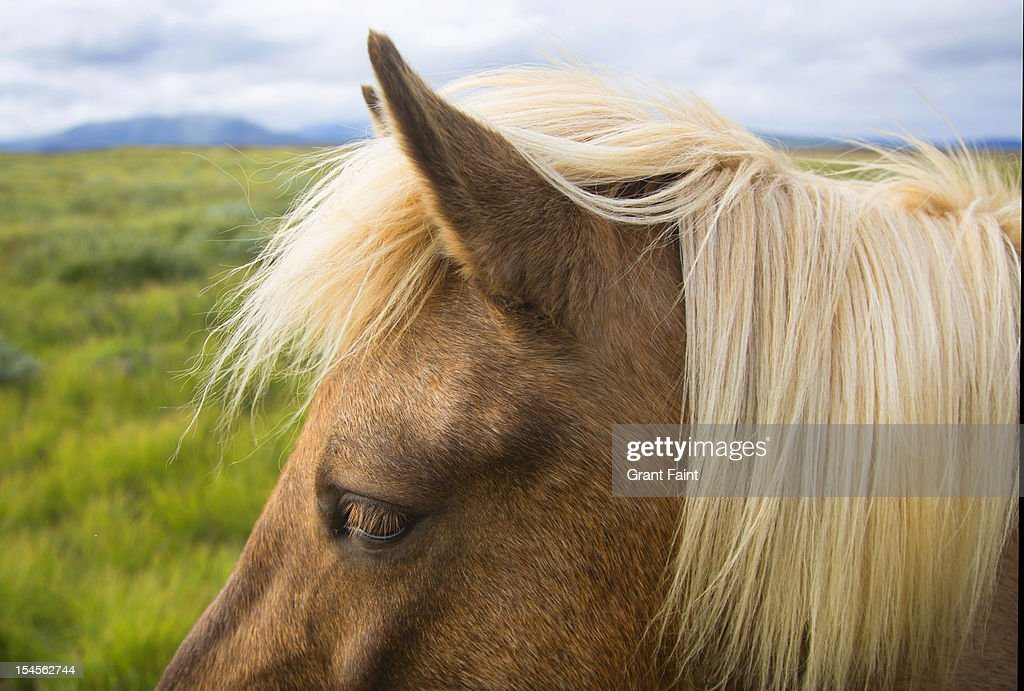 Icelandic pony. : Stock Photo