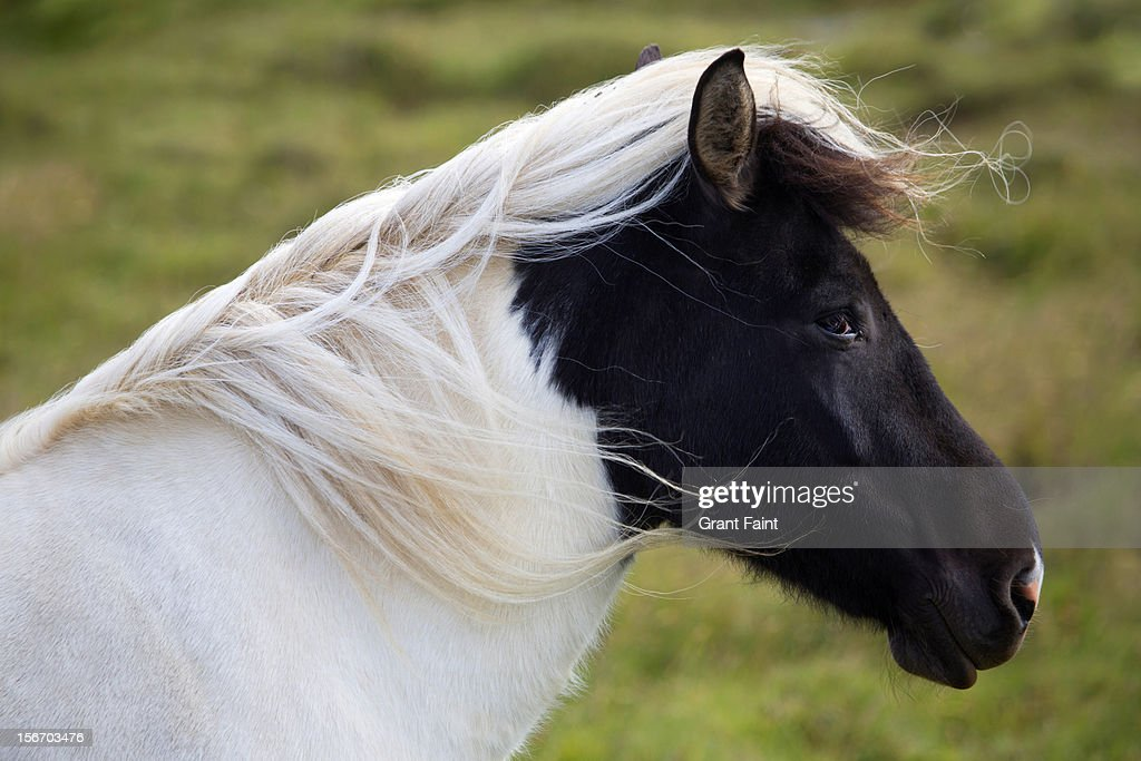 Icelandic pony standing in the wind : Stock Photo