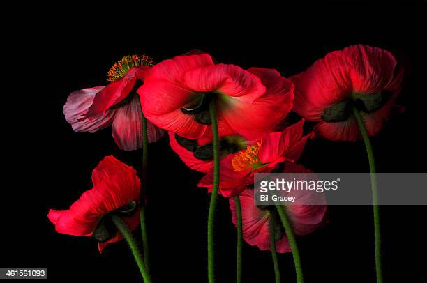 Icelandic Poppies - The View From Down Below