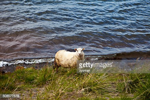 Icelandic Sheep in Meadow : Stockfoto