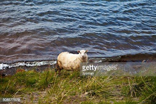 Mouton islandais Prairie : Photo