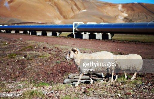 Islandês Ovelhas no Prado : Foto de stock