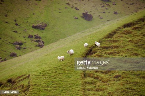 Icelandic sheeps walking free : Foto de stock