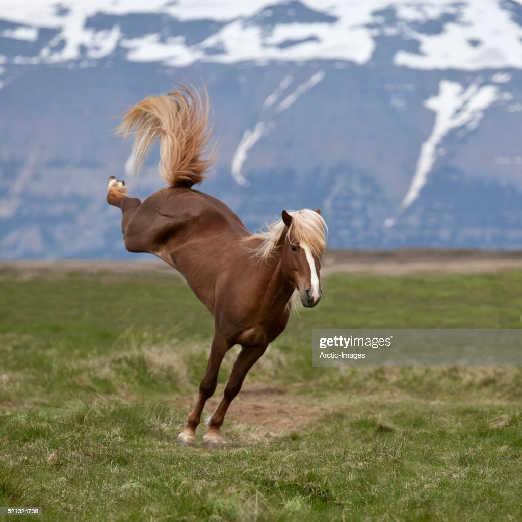 Icelandic Stallion bucking, Northern Iceland